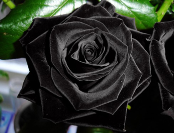 Black Rose Flower Seed