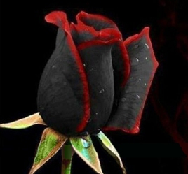 Black Rose Flower seeds with Red Edge