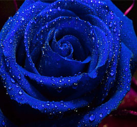 Blue Rose Flower Seed