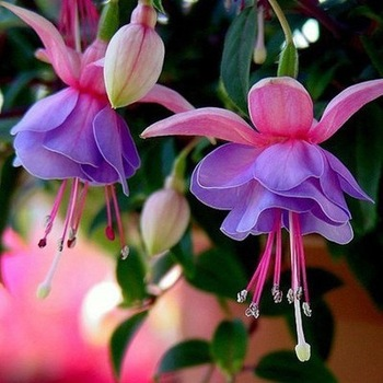 Blue with Pink Fuchsia Seeds