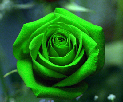 Green Rose Flower Seed