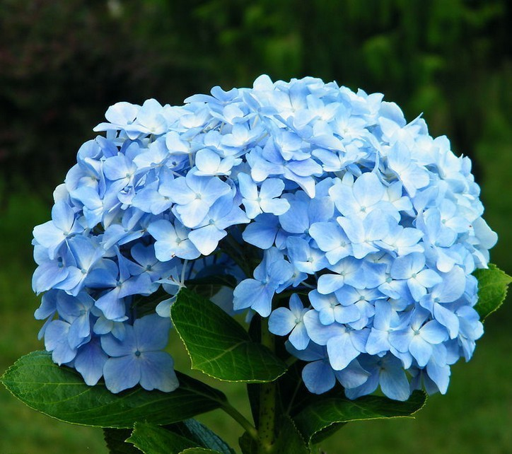 Hydrangea Flower Seeds Blue