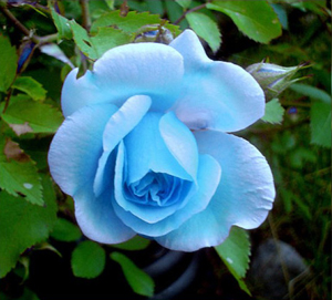 Light Blue Rose Flower Seed