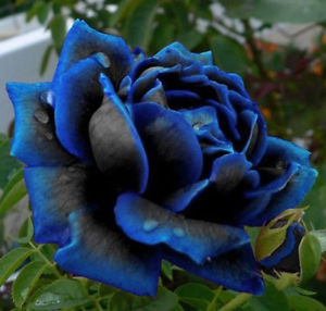 Midnight Blue Rose Flower Seed