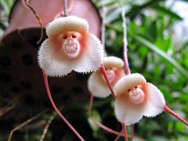 Monkey Face Orchid Seeds