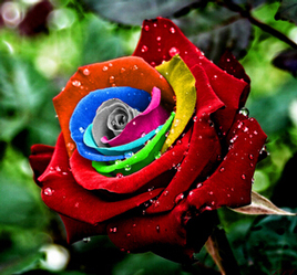 Mystic Rainbow Rose Flower Seeds