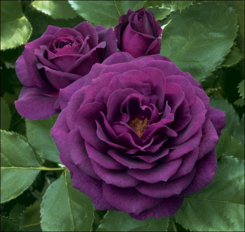 Purple Rose Flower Seed