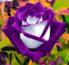 Purple White Rose Flower Seed