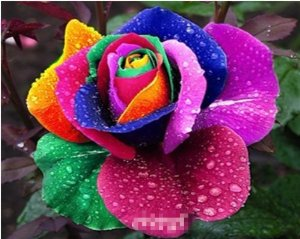 Rainbow Rose Flower Seed