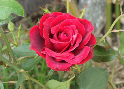 Red Rose Flower Seed
