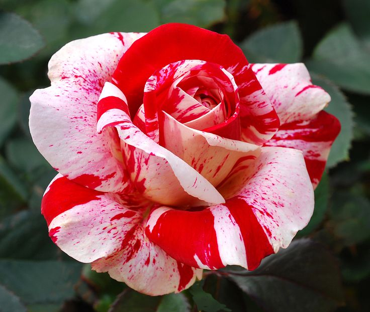 Red White Rose seed