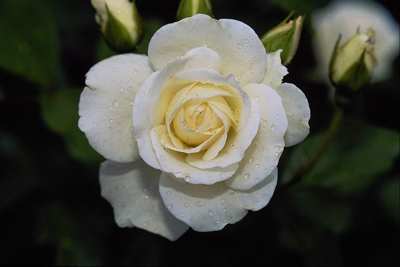 White Rose Flower Seed