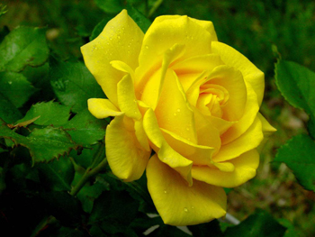 Yellow Rose Flower Seed