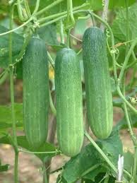 Cucumber-Vegetables Seeds